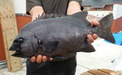 20210912 イシダイ高島で釣る 白浜渡船
